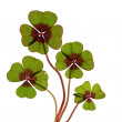 Four leaved Clover — Stockfoto