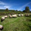 Meadow with sheep — Stok fotoğraf