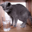 Russian Blue Cat — Foto de Stock