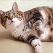 Fat Cat — Stock Photo