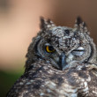 Funny Young Owl - Stock Photo