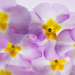 Primula Flowers — Stock Photo #15458105