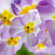 Primula Flowers — Stock Photo #15458109