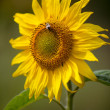 Sunflower Helianthus annuus — Stockfoto