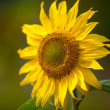 Sunflower Helianthus annuus — Stock Photo