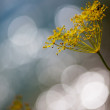 Fragile Dill umbels — Foto Stock