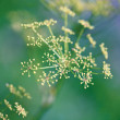 Fragile Dill umbels — Stock Photo