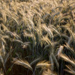 Fields of Wheat in Summer — Foto de Stock