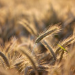 Fields of Wheat in Summer — Photo