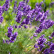 Royalty-Free Stock Photo: Lavender