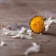 Withered daisy flower — Stock Photo