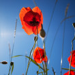 Corn Poppy Flowers Papaver rhoeas — ストック写真