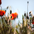 Corn Poppy Flowers Papaver rhoeas — Stock fotografie