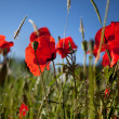 Corn Poppy Flowers Papaver rhoeas — Stockfoto