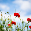Corn Poppy Flowers Papaver rhoeas — Stock Photo