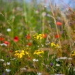 Summer meadow — Stock Photo