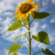 Sunflower Helianthus annuus — Foto Stock