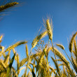 Fields of Wheat in Summer — Stock Photo