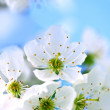 Stock Photo: Apple Blossoms