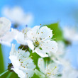 Apple Blossoms — Stock Photo #15835339