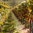 Royalty-Free Stock Photo: Autumn Vineyard