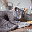 Cat on Table — Stock Photo