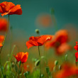 Red Corn Poppy Flowers — Stock Photo