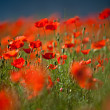 Red Corn Poppy Flowers — Lizenzfreies Foto