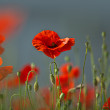 Red Corn Poppy Flowers — Photo