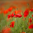 Red Corn Poppy Flowers — Foto de Stock