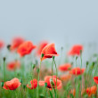 Red Corn Poppy Flowers — Stock fotografie