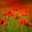 Red Corn Poppy Flowers — Stok fotoğraf
