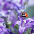 Ladybug and Bellflowers — Stok fotoğraf