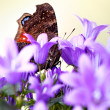 European Peacock and Bellflowers — Stock Photo