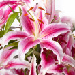 Pink Lily — Stock Photo #15843623
