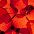 Red Corn Poppy Leaves — Stock fotografie