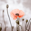 Red Corn Poppy Flowers - Stock Photo