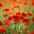 Red Corn Poppy Flowers — ストック写真