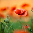 Red Corn Poppy Flowers — Foto Stock