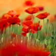Red Corn Poppy Flowers — Stockfoto