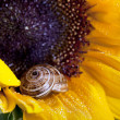 Snail - Cornu aspersum - Stock Photo