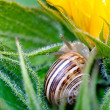 Snail - Cornu aspersum — Stock Photo #15847433