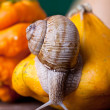 Stock Photo: Grapevine Snail