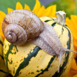 Grapevine Snail - Stock Photo