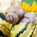 Grapevine Snail — Stock Photo