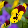 Pansy Flowers - Foto Stock