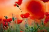 Цветы Красный Мак самосейка — Стоковое фото