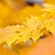 Autumn Maple Leaves — Photo