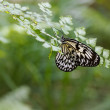 Large Tree Nymph Butterfly on the leaf of a fern — Stockfoto