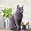 Cat and Tulips — Stock Photo